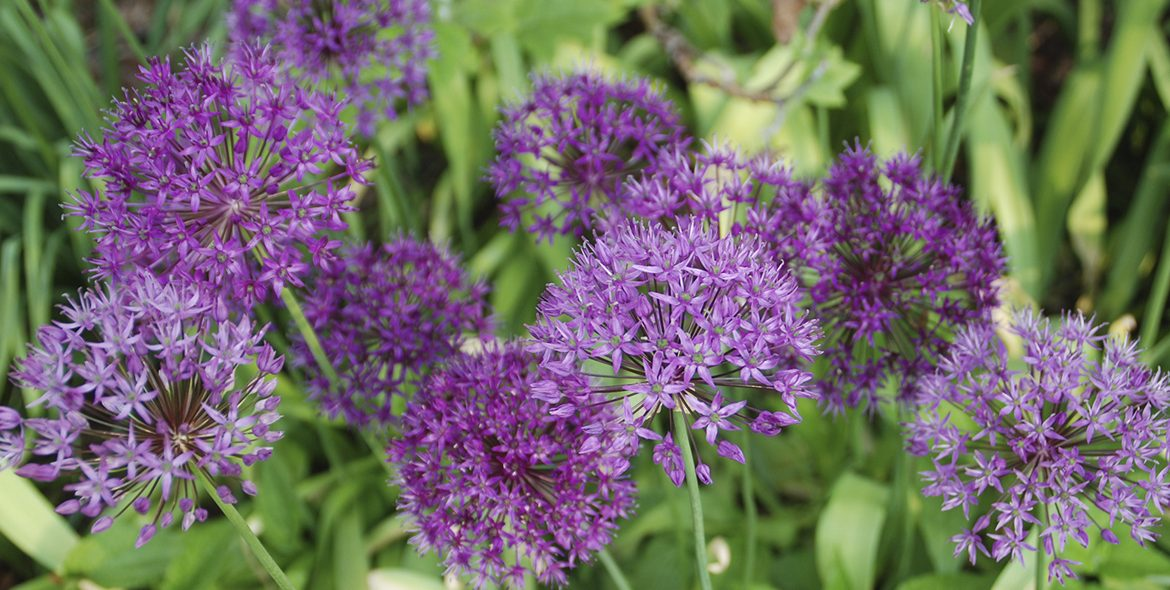Allium 'Purple Sensation' |