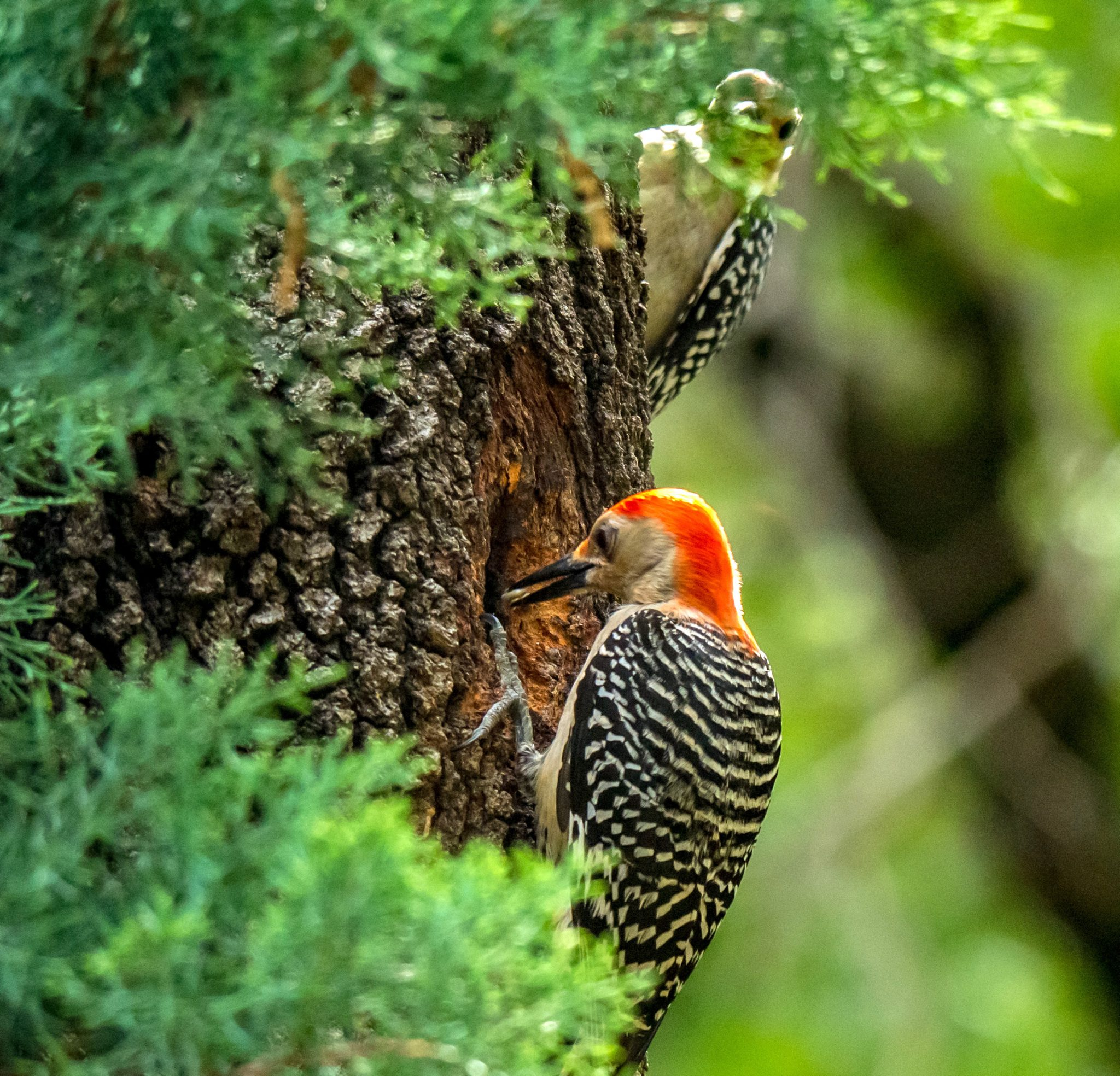 Red-Bellied Woodpecker | Photo by Richard Greene